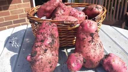 Red Desire potatoes in a basket