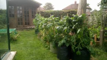 5 green sacks containing growing potato plants