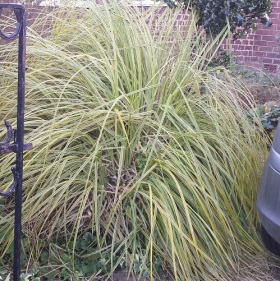 Large variegated grass
