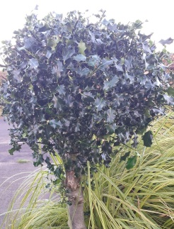 Standard holly tree pruned into a lollipop shape