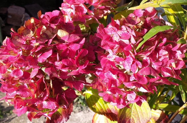 Vivid pink hydrangea flowers amongst yellow green leaves