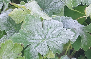 Frost covered geranium leaves