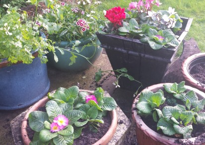 Patio pots containing autumn and winter flowers