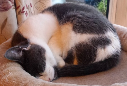 Grey and white cat curled up in a ball asleep