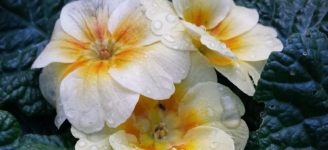Cream primroses with a yellow centre, surrounded by deep green leaves and spotted with raindrops