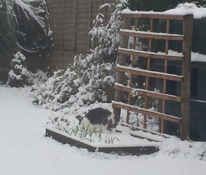 Grey and white cat in a snowy garden