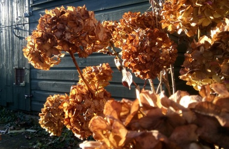 Brown dried hydrangea flowers against a dark green shed