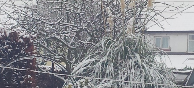 Pampas grass in flower and covered in snow