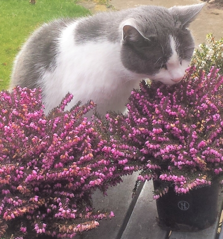 Grey and white cat sniffing some purple heather