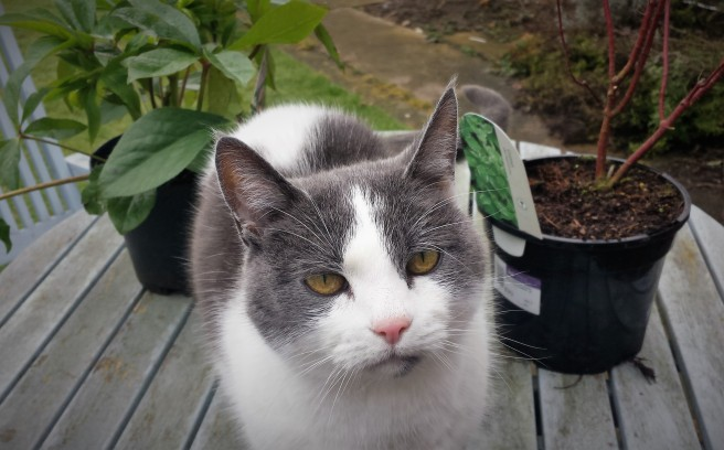 Grey and white cat on a pale blue patio table with plants in the background