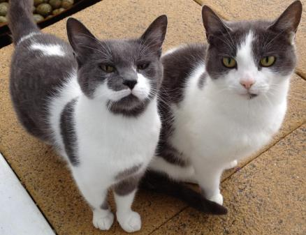 2 grey and white cats sitting on sandstone patio flagstones