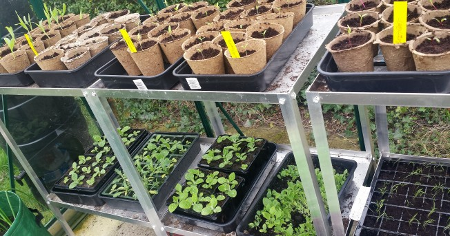Greenhouse staging covered in growing seedlings