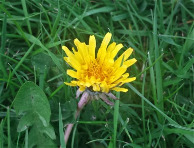 Dandelion flower in some long grass
