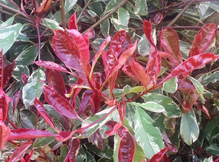 Photinia Pink Marble with lots of new red foliage