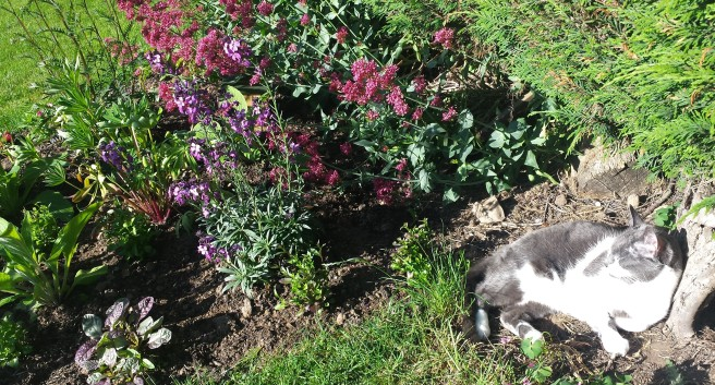 Grey and white cat in the sunshine next to a flower bed