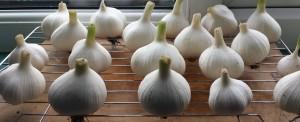 Garlic bulbs drying on a metal grille on a windowsill