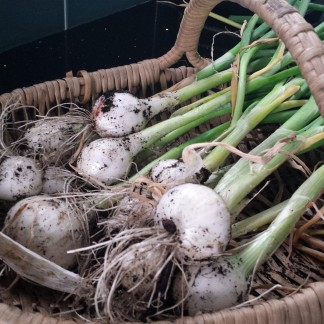 Silverskin onions in a basket, still covered in earth with their green stems intact