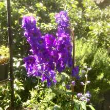 Tall purple flowers surrounded by foliage in the sunshine