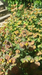 Rust coloured euphorbia in flower