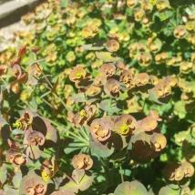 Rust coloured euphorbia in flower