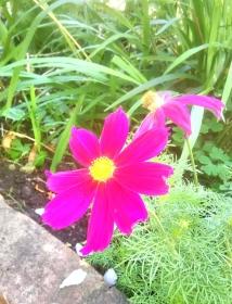Deep pink cosmos in bloom