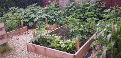Raised beds full of veg plants and divided by gravel paths