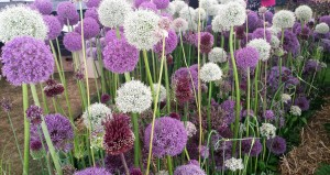 Row of purple and white alliums in flower
