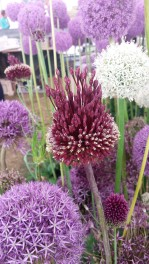 Close up of purple, lilac and white alliums in flower