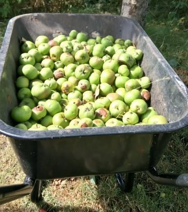 Black wheelbarrow full of green apples