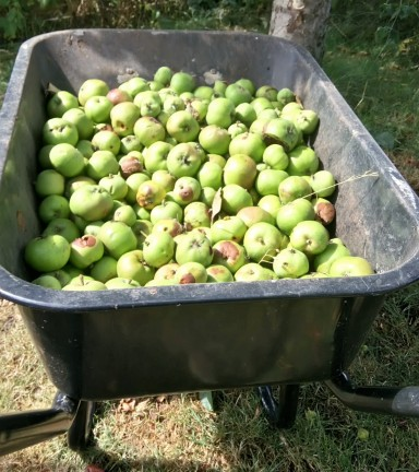 Black wheelbarrow full of green apples