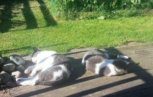 Two grey and white cats asleep on a sunny wooden veranda