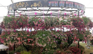 Carousel displaying lots of trailing fuchsias