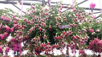 Close up of pink and white trailing fuchsias