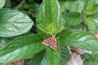 Red moth with yellow spots on dark green mint leaves