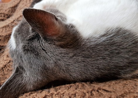 Grey and white cat asleep on a brown blanket with back of head to camera