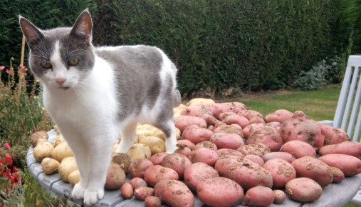 Grey and white cat on a patio table surrounded by potatoes