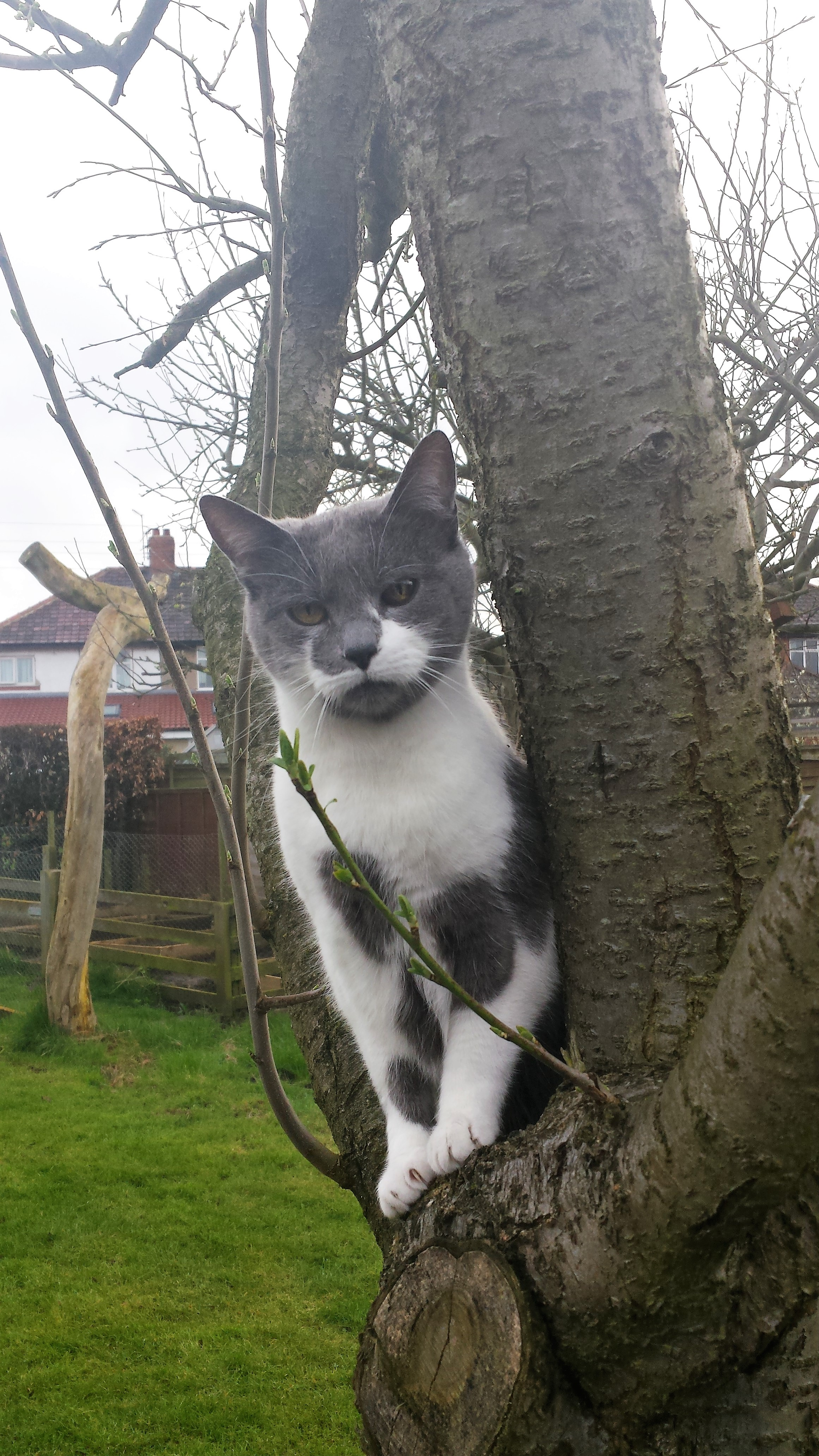 Grey and white cat up a tree