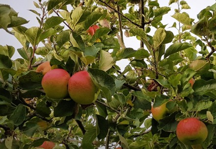 Red and green apples in a tree