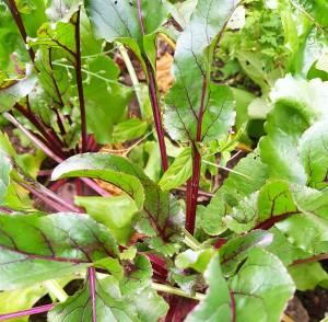 Red veined beetroot leaves