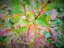 Autumn coloured blueberry leaves