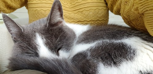 Grey and white cat sleeping on someone's knee