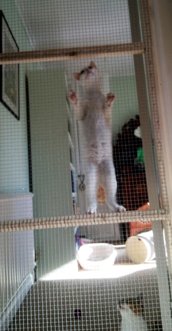 White kitten on hind legs climbing a wire mesh gate