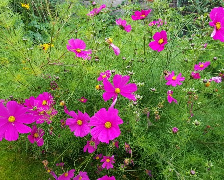 Deep pink cosmos flowers with lots of frondy green foliage