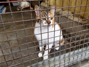 Tortoisehell tabby and white young cat in a pen