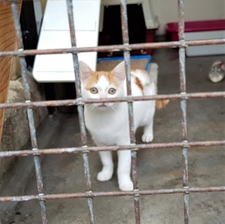White and ginger young cat in a pen