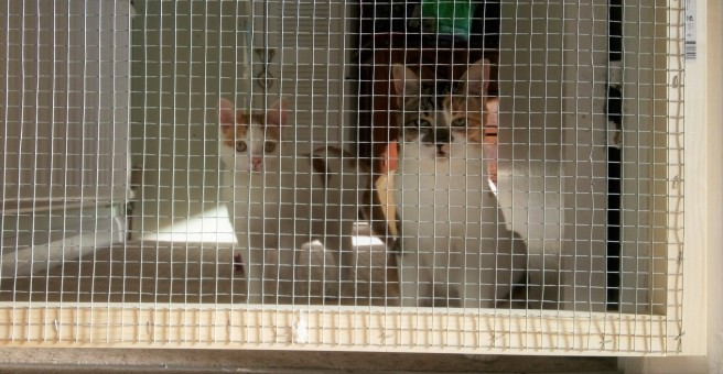 Two white kittens behind a wire mesh gate