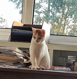 White and ginger kitten sitting on a desk and looking full of mischief