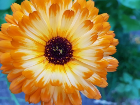Golden tipped marigold with white centred petals and dark brown centre