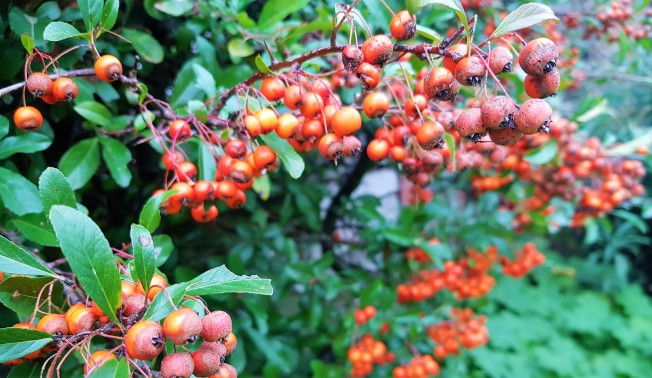 Green bush with lots of bright red berries