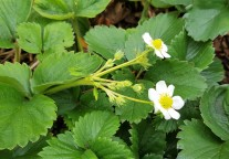 Strawberry plants in flower